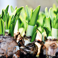 narcissus plant bulbs sprouting