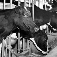 dairy cows being fed