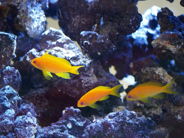 yellow fish in the Phyllis Donner Aquarium