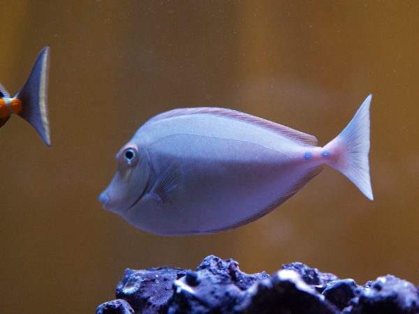 photo of a tang unicorn fish taken by MCPL staff